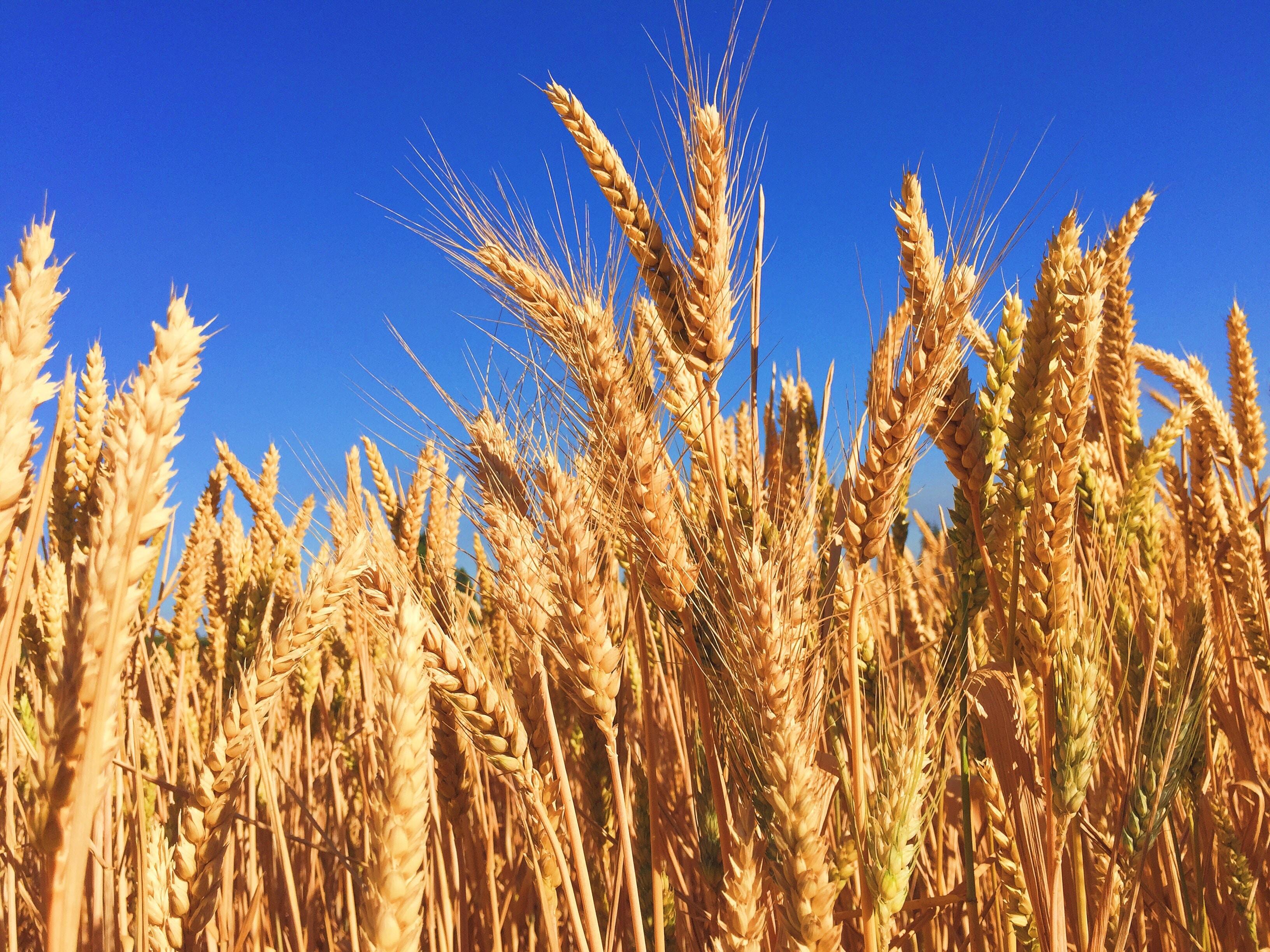GMO u prehrani